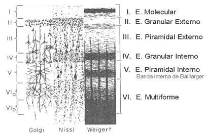 Patrones de conectividad entre neuronas en una capa cortical. Los somas  vacíos representan neuronas excitadoras (espinosas) como las neuronas  piramidales y ...