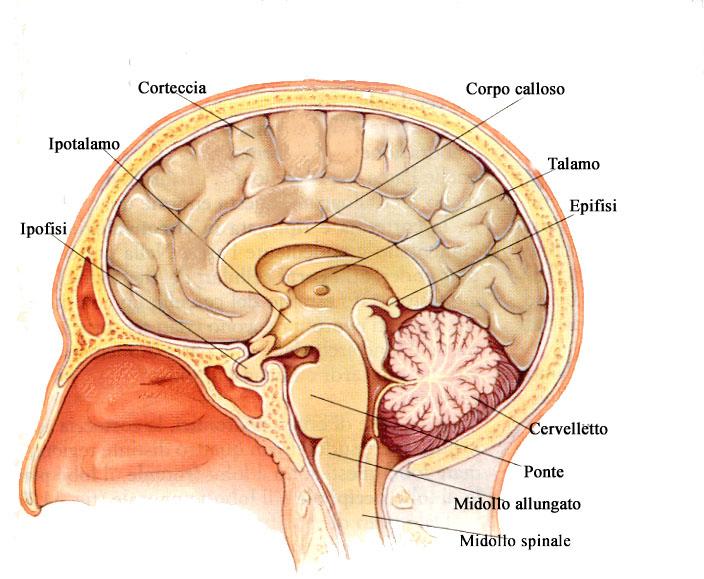 Anatomía - Psicofármacos Información